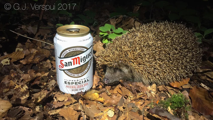 Beer drinking Hedgehog