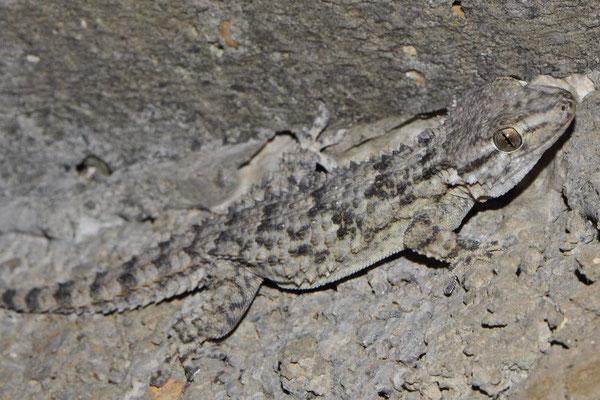 Moorish Gecko - Tarentola mauritanica   In Situ