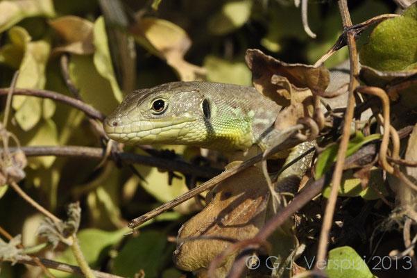 Balkan Green Lizard - Lacerta trilineata hansschweizeri (juvenile)