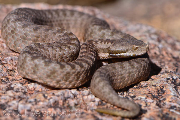 Second female Vipera monticola
