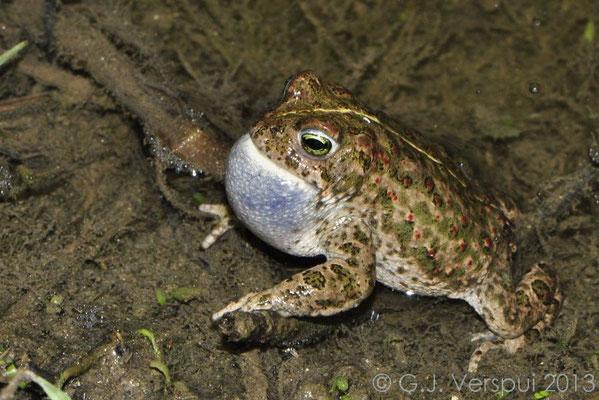 Male Natterjack Toad calling - Epidalea Calamita   In Situ