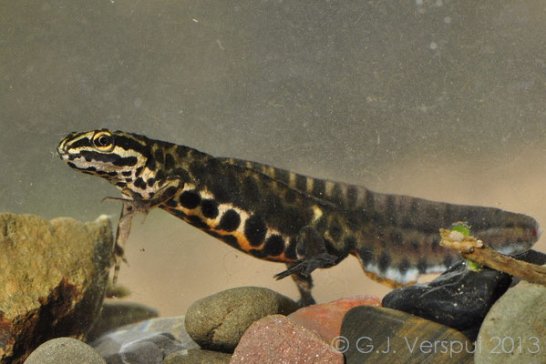 Common Newt - Lissotriton vulgaris graecus (male)
