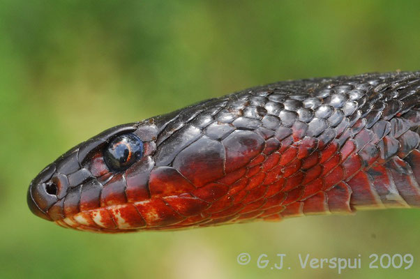 Close up - Black Whip Snake - Dolichophis jugularis