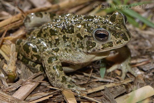 African Green Toad - Bufotes boulengeri