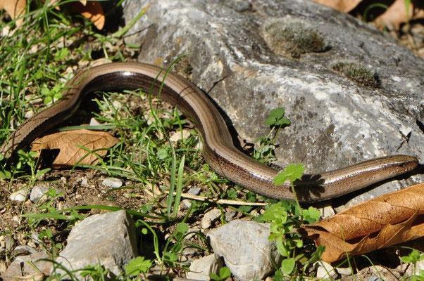 Greek Slow Worm - Anguis graeca
