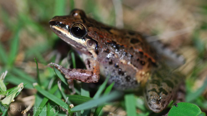 Leptodactylus labialis, these little frogs have a call similar to Alytes species in Europe.