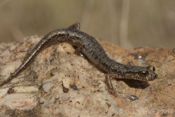 Gené's Cave Salamander - Speleomantes genei subsp. A