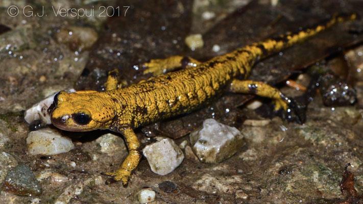 Fire Salamander - Salamandra salamandra bernardezi, in situ