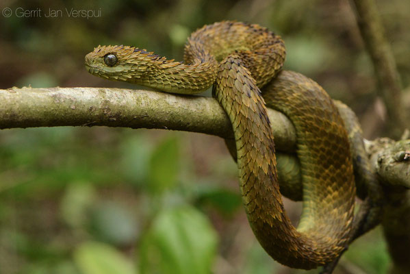 Rough-scaled Bush Viper - Atheris hispida, the one I found.
