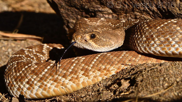 Red Diamond Rattlesnake (Crotalus ruber)