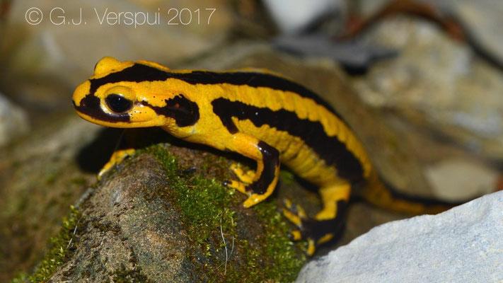 Fire Salamander - Salamandra salamandra fastuosa, in situ