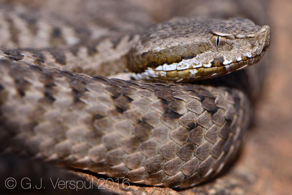 First female Vipera monticola