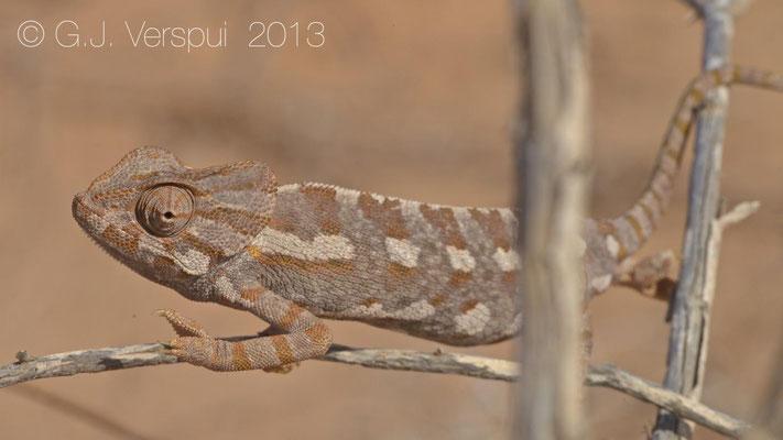 Mediterranean Chameleon - Chamaeleo chamaeleon musae    In Situ
