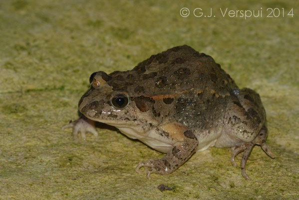 Painted Frog - Discoglossus pictus