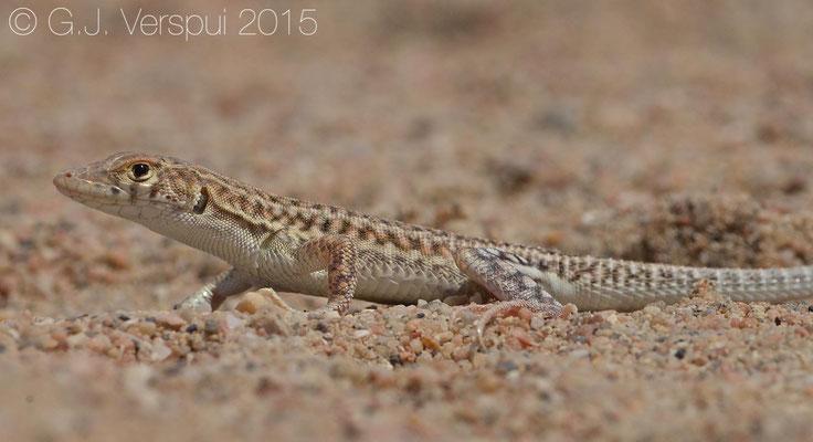 Acanthodactylus felicis
