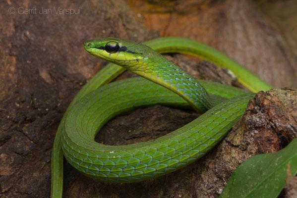 Emerald Snake - Hapsidophrys smaragdinus