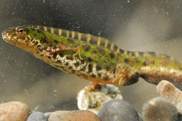 Southern Marbled Newt - Triturus pygmaeus