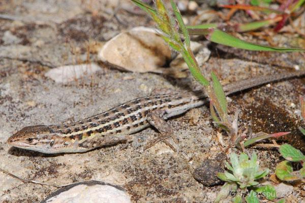 Spanish Psammodromus - Psammodromus hispanicus