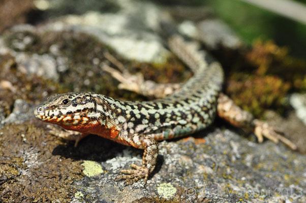 Erhard's Wall Lizard - Podarcis erhardii