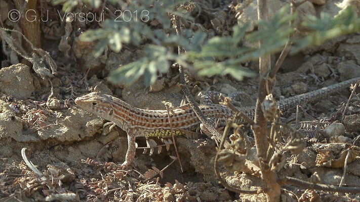 Schreiber's Fringe-Fingered Lizard - Acanthodactylus schreiberi    In Situ