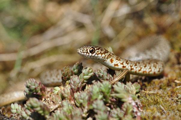 Caspian Whip Snake - Dolichophis caspius (juvenile)