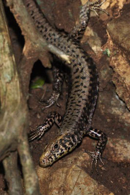 Greek Rock Lizard - Hellenolacerta graeca   In Situ