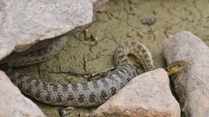 Found by Siem, Viperine Snake - Natrix maura, In Situ