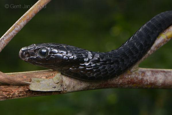 Jackson's Tree Snake - Thrasops jacksonii