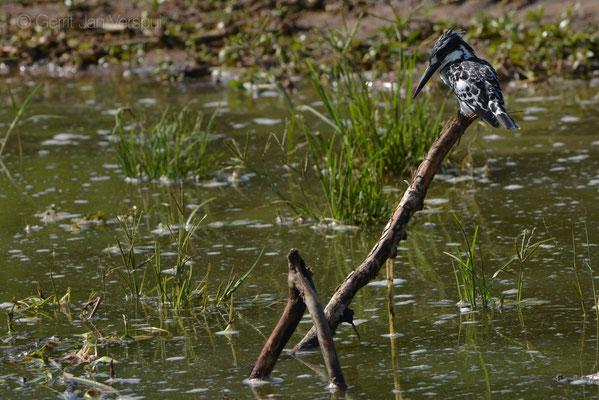Pied Kingfisher - Ceryle rudis