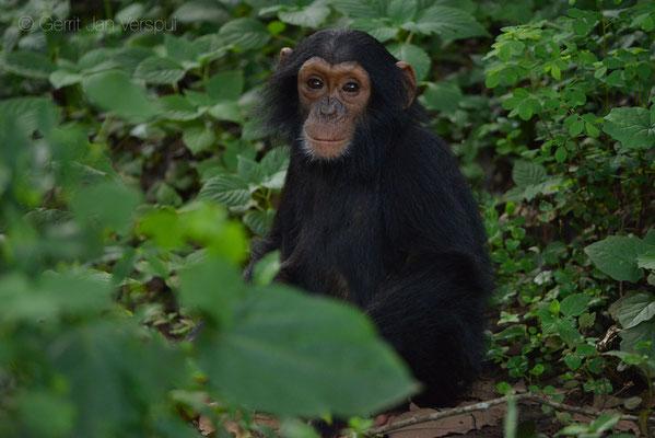 Chimpanzee - Pan troglodytes