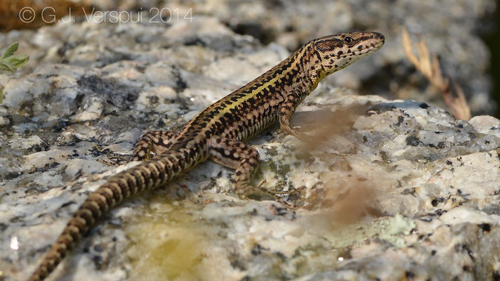 Bocage's Wall Lizard - Podarcis bocagei