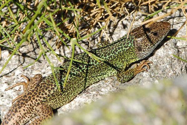 Schreiber's Green Lizard - Lacerta schreiberi  (male)   In Situ