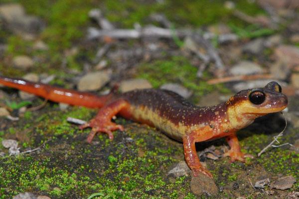 Helversen's Salamander - Lyciasalamandra helverseni