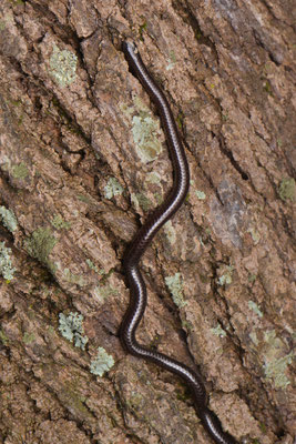 Pitman's Worm Snake - Leptotyphlops pitmani, as found