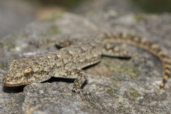 Kotschy's Gecko - Mediodactylus kotschyi   In Situ