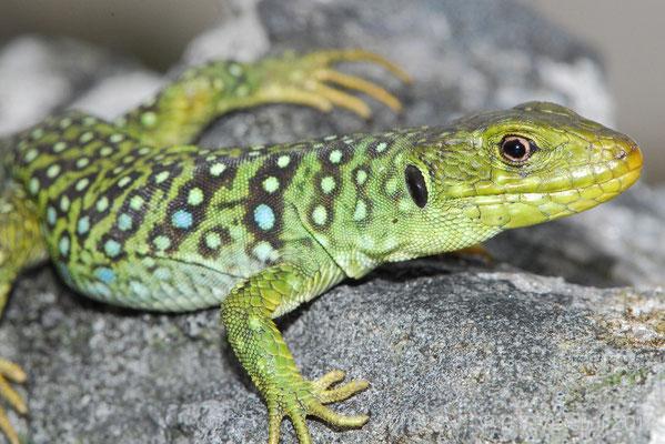 Ocellated Lizard - Timon lepidus ibericus (juvenile)