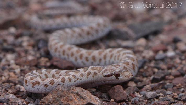 Arizona elegans noctivaga