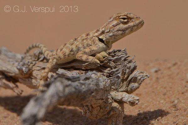 Egyptian Sand Agama - Trapelus savignii