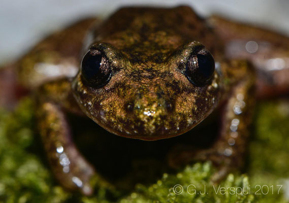 Majorcan Midwife Toad - Alytes muletensis, I loved this dark one!