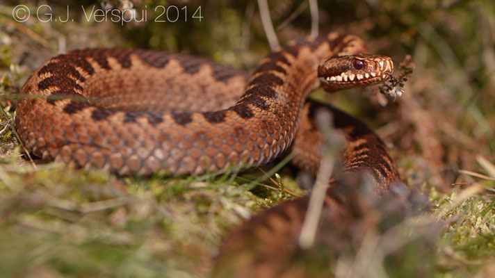 Freshly shedded female Adder - Vipera berus