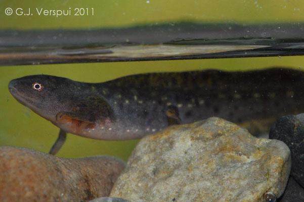 larvae of Alpine Newt - Ichthyosaura alpestris