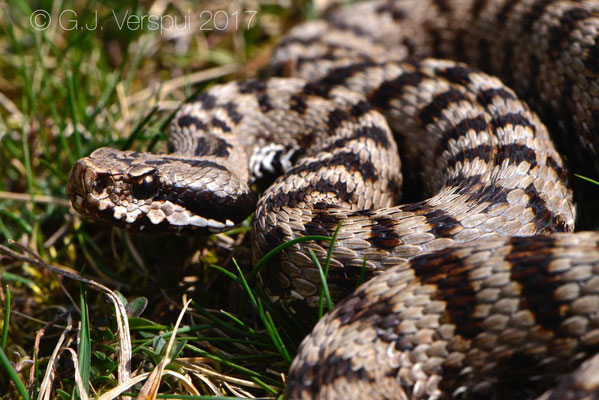 Male Asp Viper - Vipera aspis 'atra' found by Chris