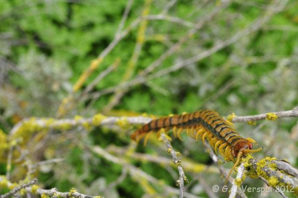 Mediterranean banded centipede, Scolopendra cingulata
