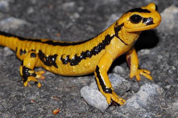 Salamandra salamandra fastuosa, Pyrenees, France, May 2012