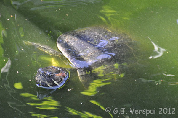 Red-eared Slider - Trachemys scripta elegans    In Situ