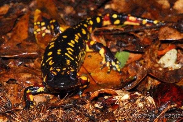 Fire Salamander - Salamandra salamandra gallaica    In Situ