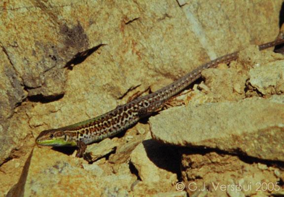 Balkan Wall Lizard - Podarcis tauricus    In Situ