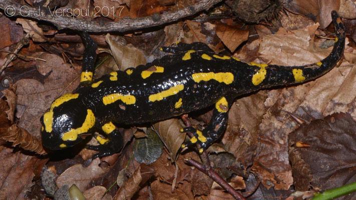 Fire salamander - Salamandra salamandra terrestris