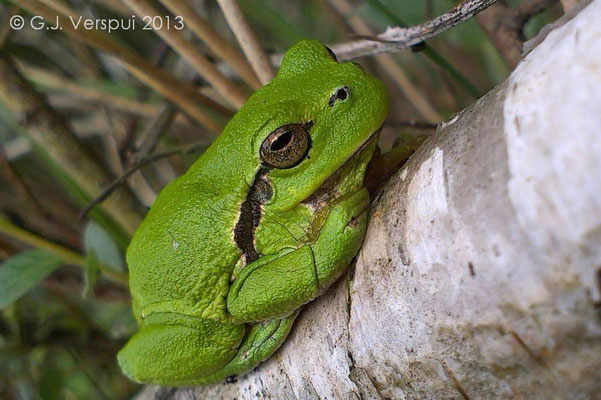 Common Tree Frog - Hyla arborea   In Situ, made with a smartphone