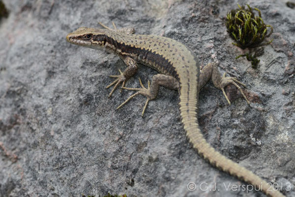 Horvath's Rock Lizard - Iberolacerta horvathi
